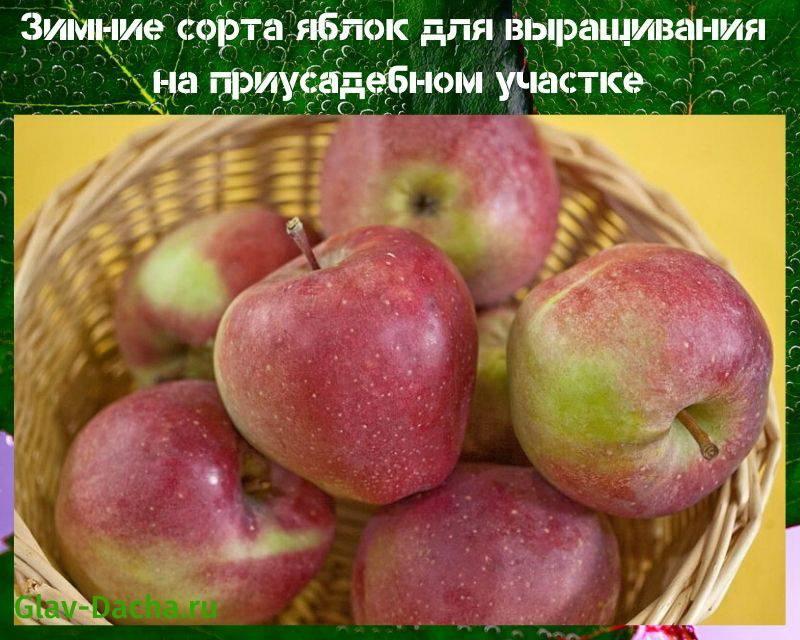 Чем хорош сорт яблок голден, характеристика сорта, посадка и уход