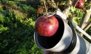 Как собрать черешню на высоком дереве — как правильно быстро и аккуратно собрать урожай. секреты садоводов и 115 фото устройств для сбора черешни