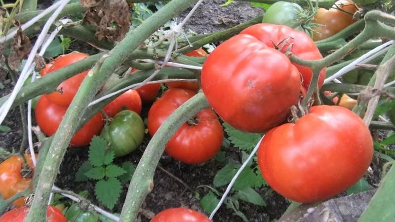 Сорт томата «вечный зов»: описание, характеристика, посев на рассаду, подкормка, урожайность, фото, видео и самые распространенные болезни томатов