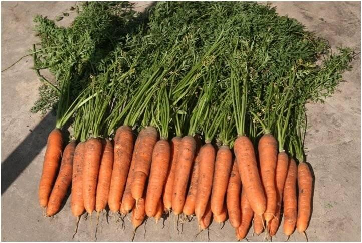 Основные характеристики и описание сорта моркови абако. правила выращивания и ухода