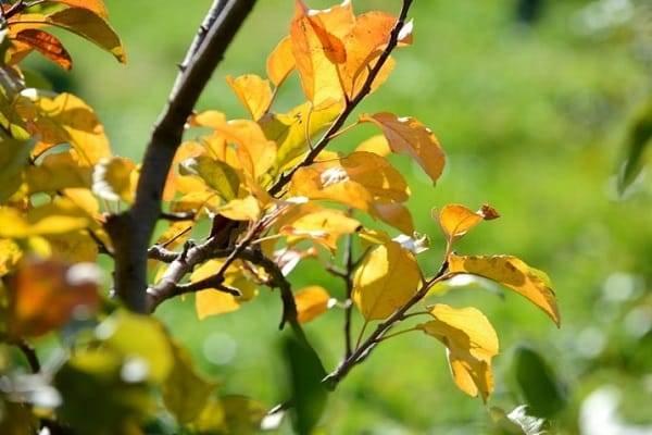 Почему у яблони сохнут отдельные ветки и что делать, чтобы вылечить дерево