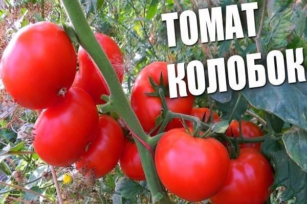 Описание сорта томата Колобок, его характеристика и урожайность