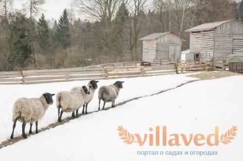 Особенности каракульской породы овец, преимущества и недостатки, правила разведения