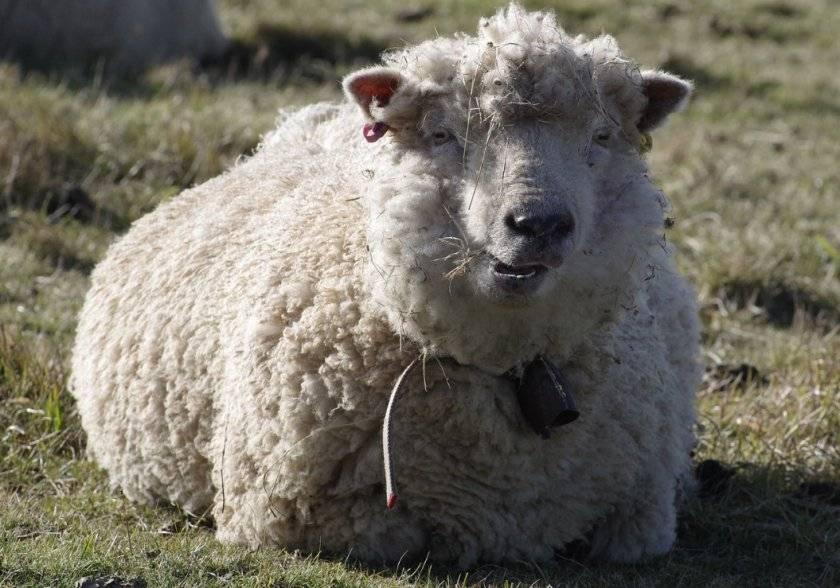 Характеристика овец породы меринос и кто их вывел, чем известны и разведение