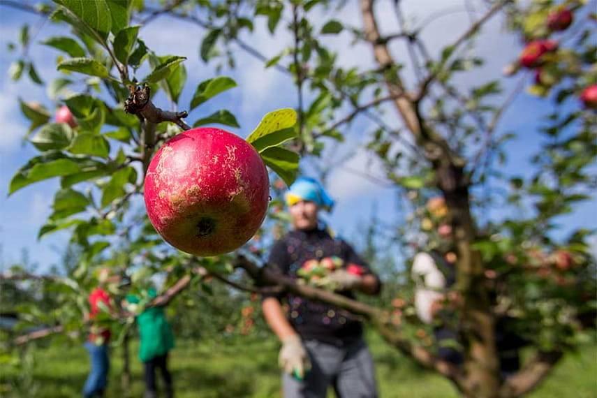 Скороплодная колоновидная яблоня память блынского