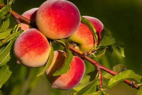 Персиковая слива: характеристики, посадка и уход