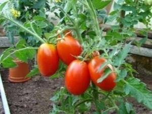Идеальный для консервации сорт томата «каспар f1»: описание, характеристика, посев на рассаду, подкормка, урожайность, фото, видео и самые распространенные болезни томатов