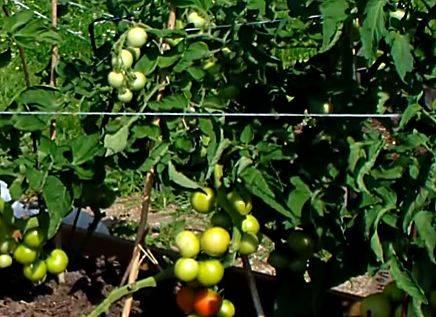 Описание сорта томатов «нужный размер», выращивание и основные достоинства
