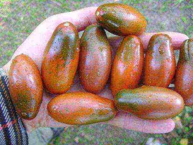 Томат древовидный чудо дерево f1: особенности, описание, урожайность, отзывы
