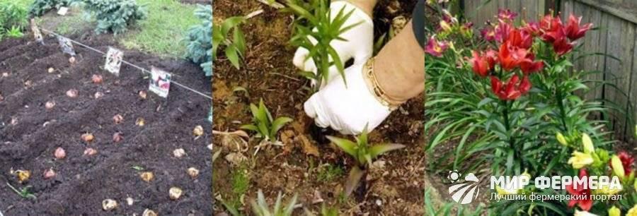 Как самостоятельно вырастить лилии из луковиц