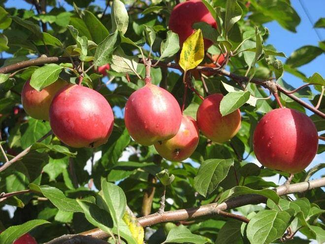 Простой в уходе и урожайный сорт с сочными плодами — марат бусурин