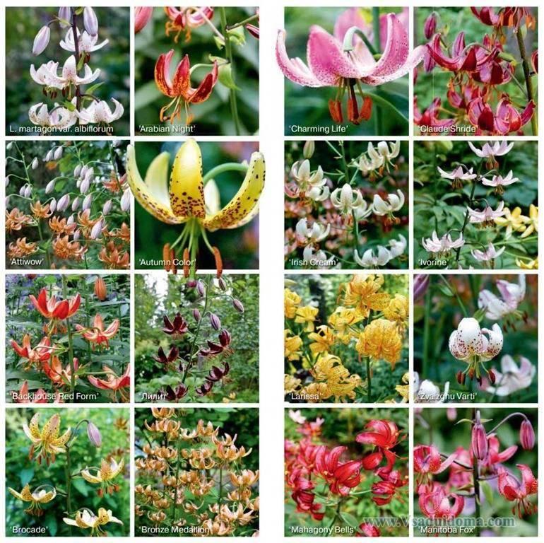 Описание и характеристики сортов тигровой лилии, выращивание и размножение