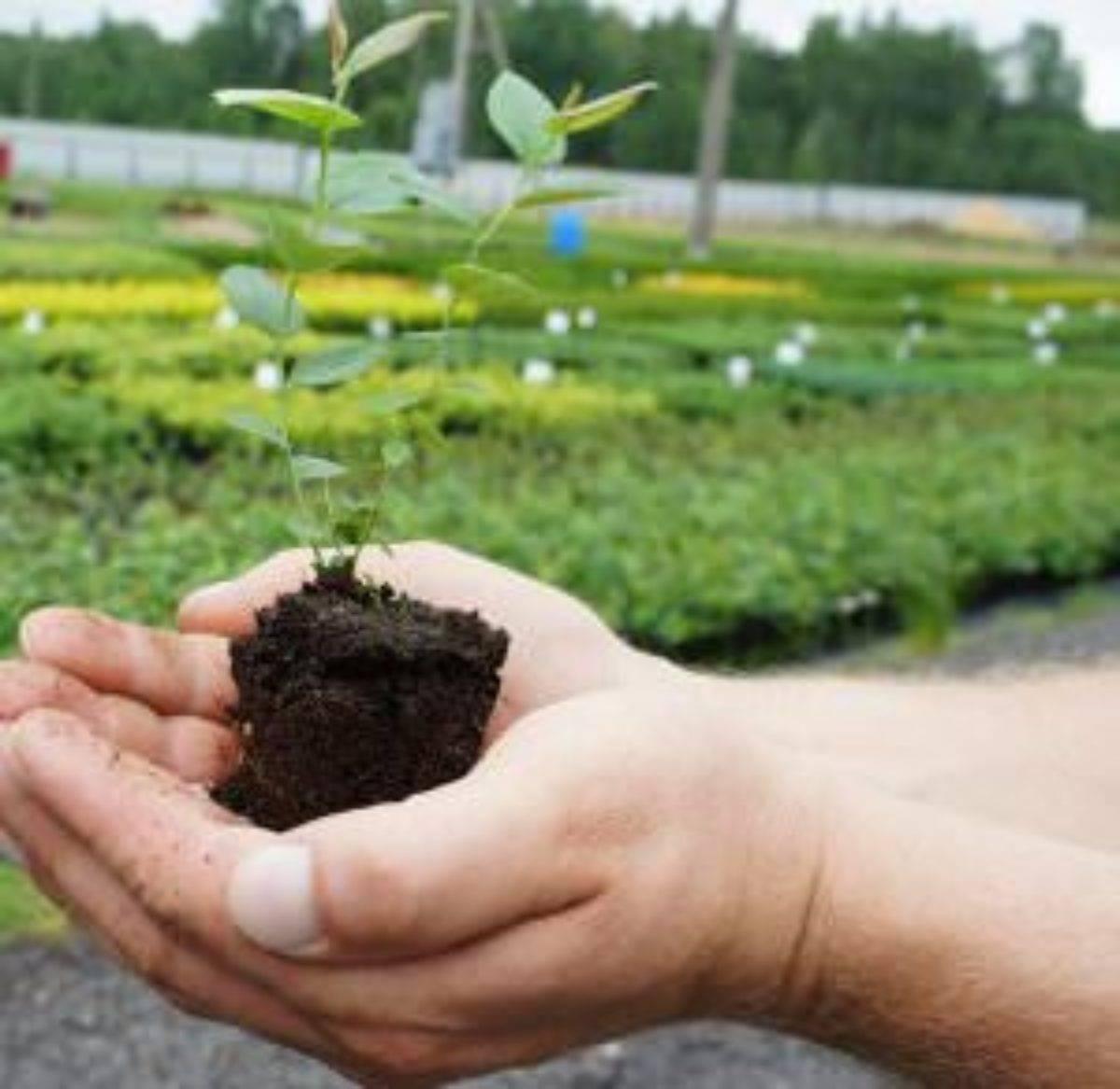 Как вырастить вкусную голубику в открытом грунте: сорта, посадка, подкормка, уход