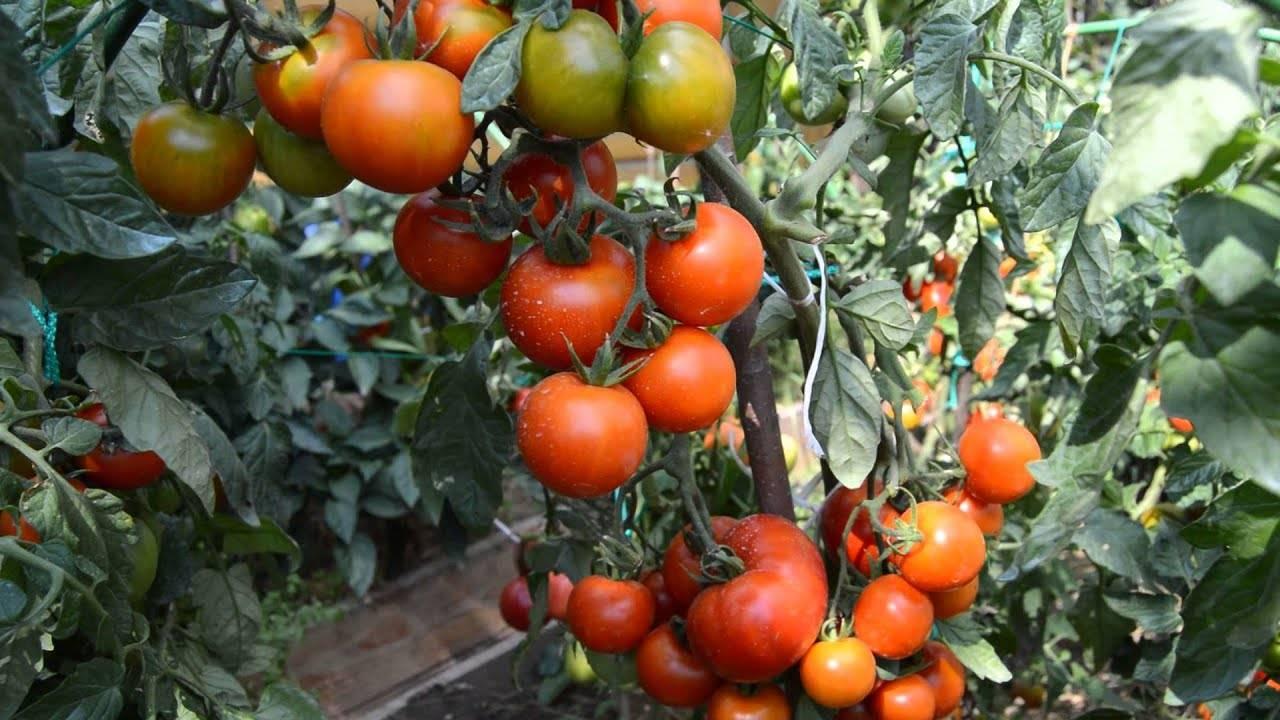 Урожайный сорт томата «слот f1»: секреты выращивания и описание сорта