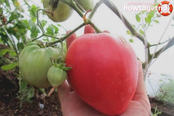 Характеристика томатов сорта королевич