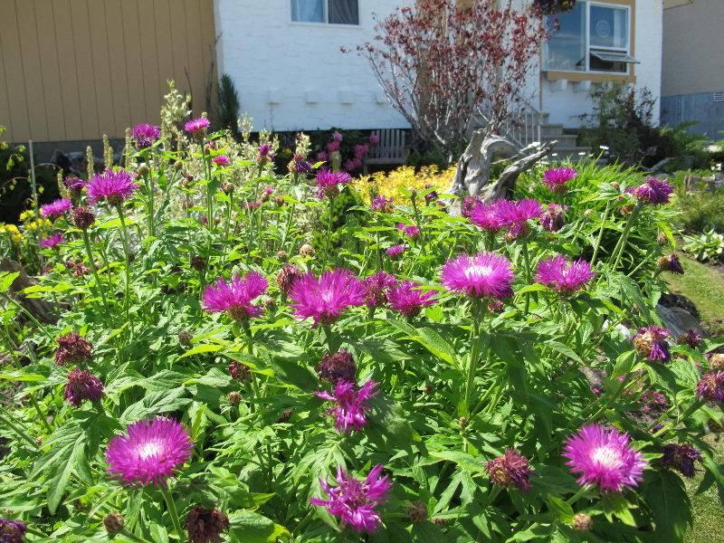 Василек синий: описание растения, выращивание и применение