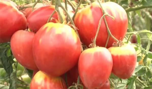 Правила выращивания, описание и характеристика томата настенька
