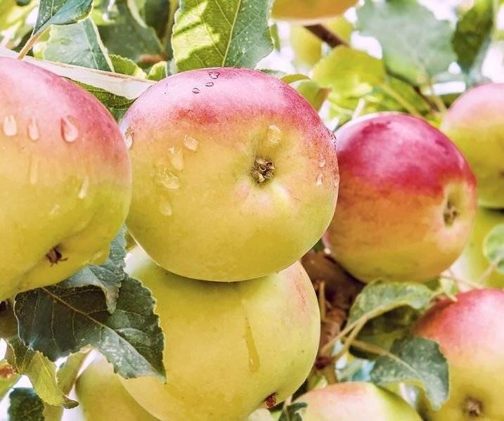 Яблоня «женева эрли»: описание сорта, фото и отзывы