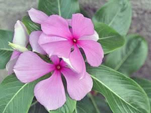 Катарантус - фото, уход в домашних условиях, посадка и выращивание из семян, размножение черенками