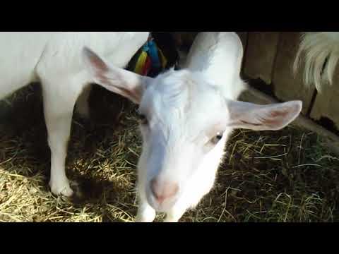 Что делать, если коза не отдает молоко полностью и методы решения проблемы