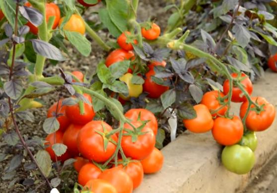 Описание сорта томата самородок f1 и его характеристика