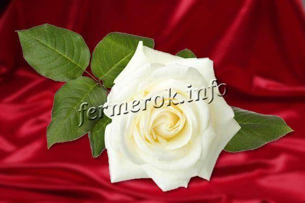 Плетистая роза: описание и правила ухода