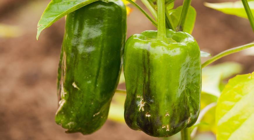 Почему чернеет болгарский перец на кусте в теплице
