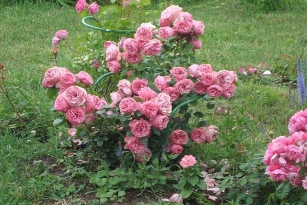 Роза флорибунда: выращивание и уход в открытом грунте.