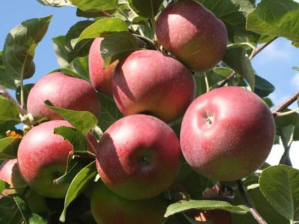 Яблоня «беркутовское» — описание, посадка и уход, фото