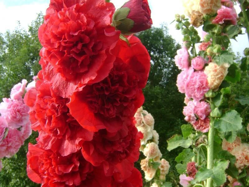 Как выращивать шток — розу