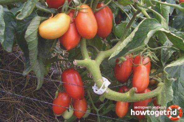 Описание сорта томата вп 1 f1, рекомендации по выращиванию и уходу