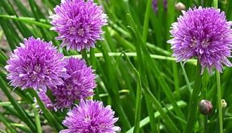 Как выращивать шнитт лук дома из семян