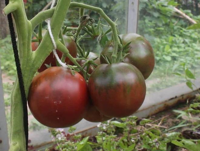 Выращивание томата розовые щечки