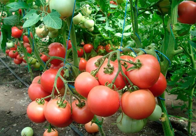 Обзор сладких и урожайных сортов розовых помидор