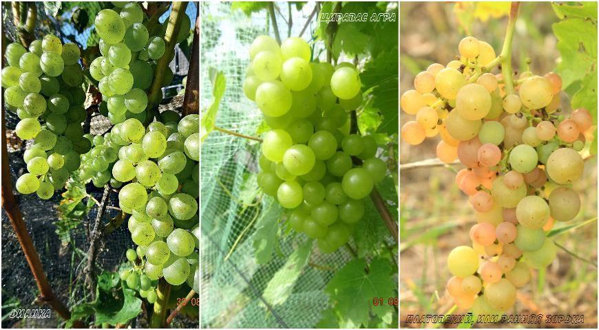 17 лучших мускатных сортов винограда