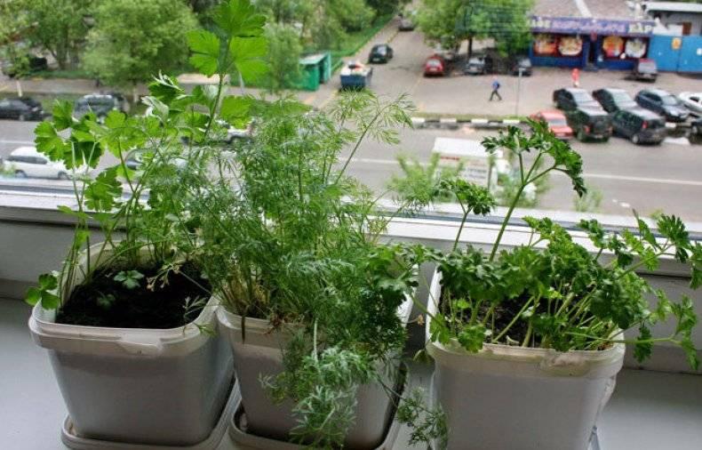 Петрушка на подоконнике — выращивание из семян