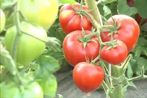 Томат бабушкино: характеристика и описание сорта, урожайность с фото