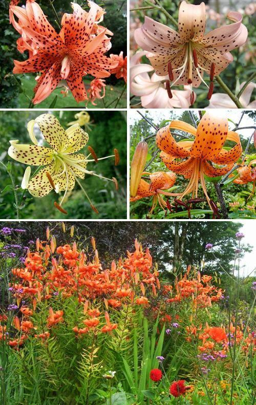Цветы лилии садовые посадка и уход размножение разновидности лилий садовых фото с названиями