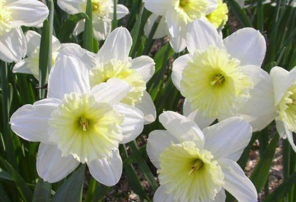 Нарциссы садовые: описание цветов, уход и выращивание