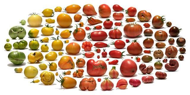 Разнообразие ранних сортов помидор