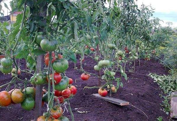 Томат чудо земли: сорт с гигантскими плодами