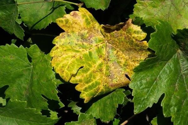 Почему желтеют листья у винограда