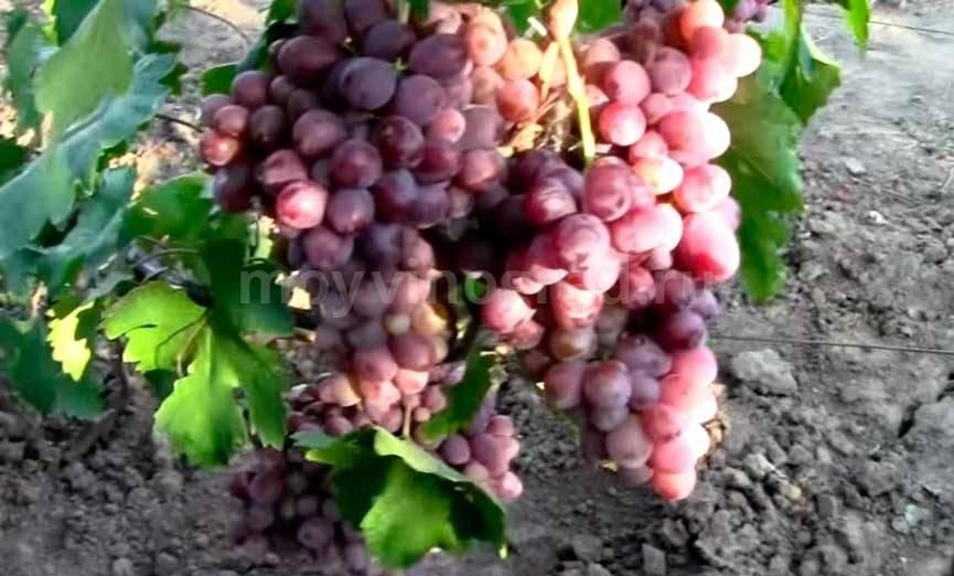 Виноград «аюта павловского» — гибридная форма раннего созревания