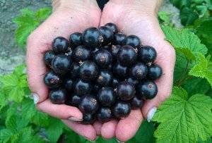 Лучшие сорта черной смородины для подмосковья