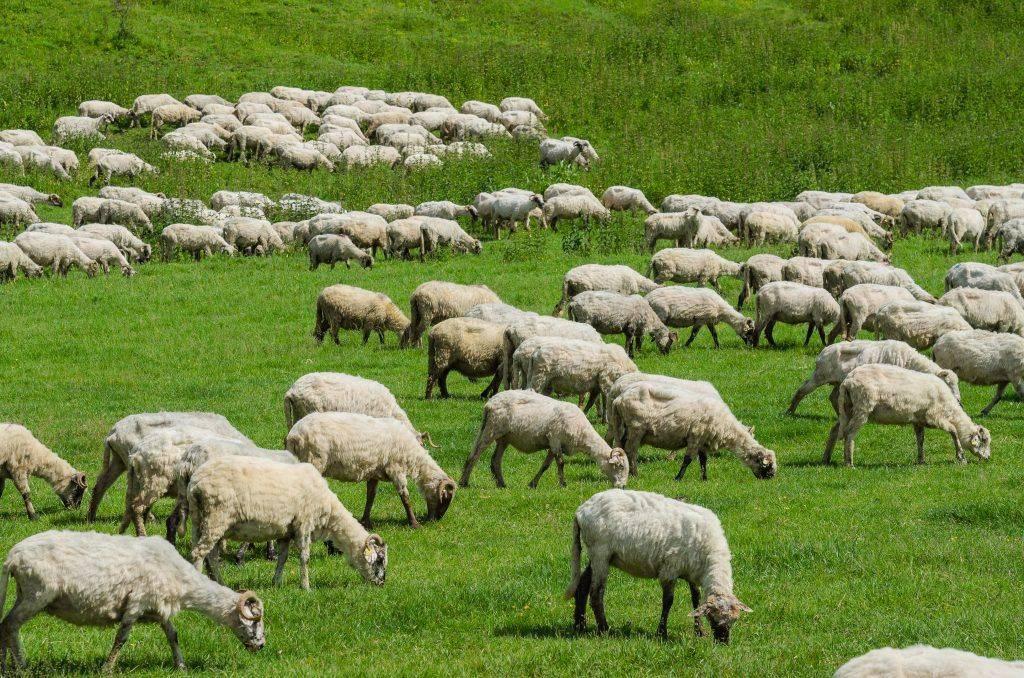 Идеи бизнеса: разведение баранов на мясо