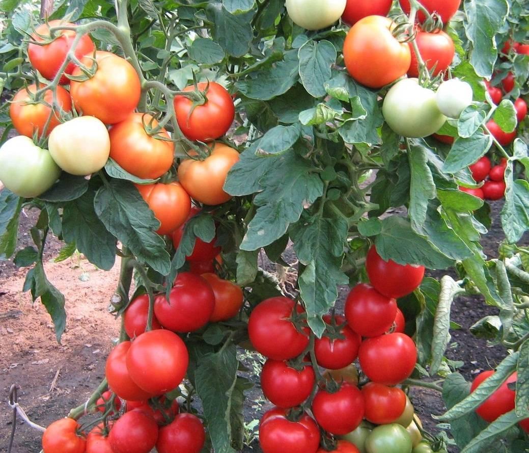 Сорт томата «интуиция f1»: подробное описание, характеристика, урожайность, фото, видео и отзывы тех, кто сажал