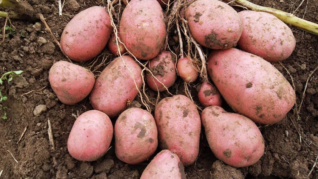 буду беречь картофель колетте описание сорта фото отзывы вам дальнейших успехов