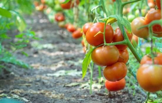 Сорта томатов для уральских теплиц — какие стоит посадить и как вырастить