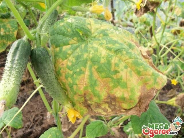 Огурец амур: описание сорта и 12 советов по выращиванию и уходу