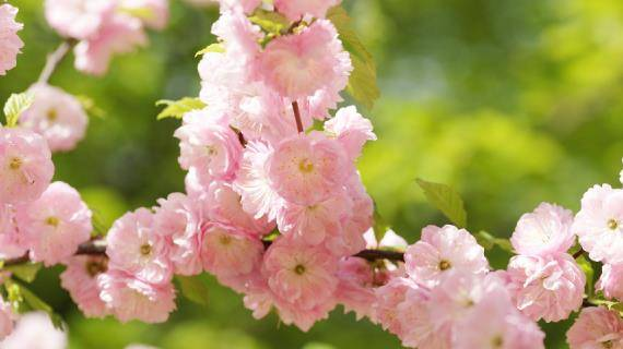 Миндаль трехлопастный (луизеания) – марш мендельсона в весеннем саду